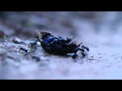 Ants Dismantling a Dead Scarab Beetle