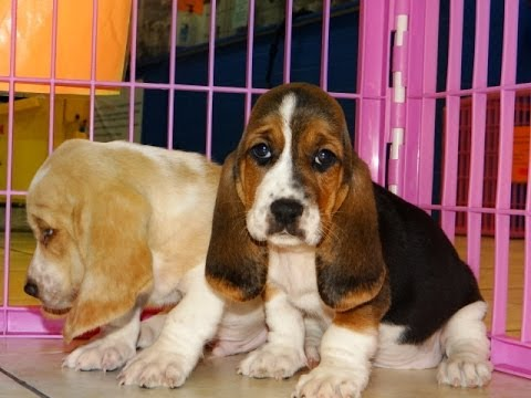 Basset Hound Puppies Dogs For Sale In Colorado Springs Colorado
