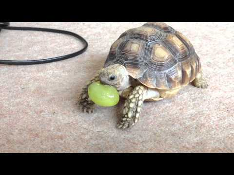 Sulcata tortoise eating a grape