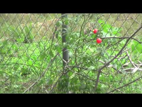 how to keep birds from eating tomatoes