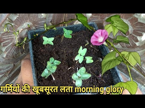 How to grow Morning glory from seeds