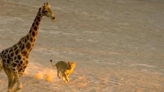 Incredible: Five Lions Take Down a Giraffe