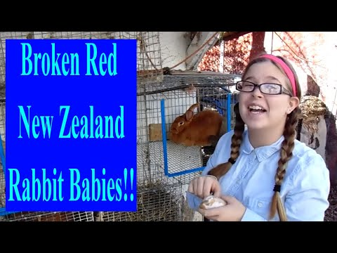 New Zealand Rabbits - Grubbs and Marcy Produce a Litter of Red and Broken Red New Zealand Rabbits
