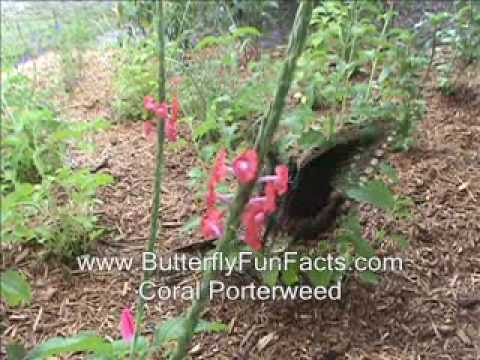 Coral Porterweed, Butterfly and Hummingbird Nectar Plant