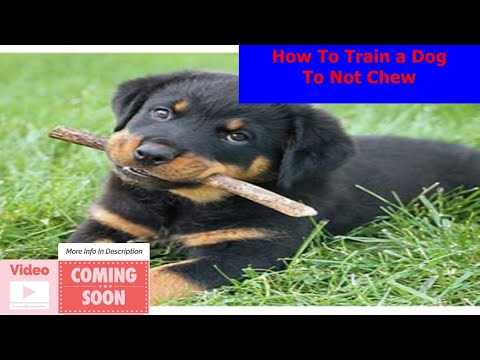How To Train a Dog To Not Chew - Chew toy training - 5 tips to chew toy train your dog (w/olive!)