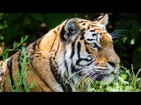 World Tiger Population Grows for the First Time in 100 Years - Newsy