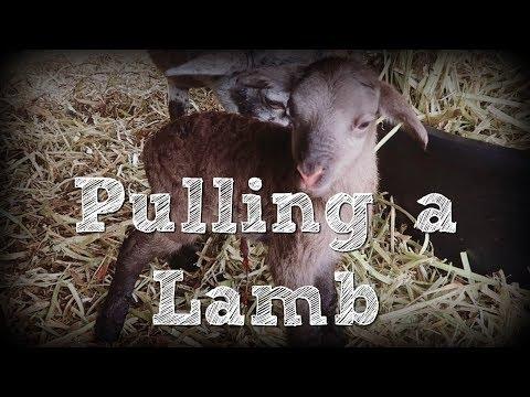 Pulling a Lamb During Birth
