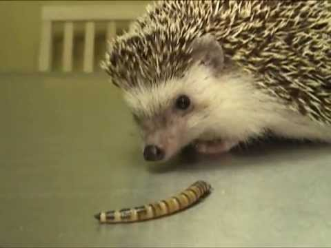 Hedgehog Eating a Superworm   Exotic Pet Vet Unedited and Uncut Video