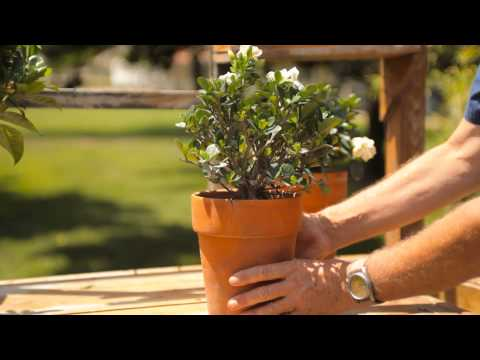 How to Keep a Potted Gardenia Indoors for the Winter : Garden Savvy