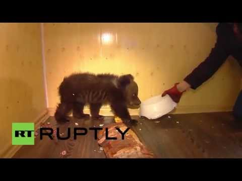 Russia: Meet Barney, the un-BEAR-ably cute cub looking for a new home