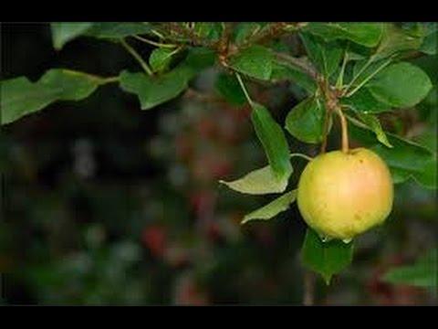 Growing Apples In Texas ~My 2014 Apple Crop
