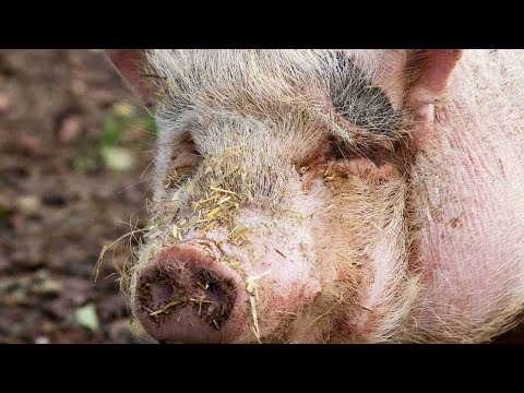 How to Know if Your Pig Is Sick | Pet Pigs