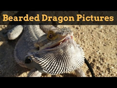 Bearded Dragon Owners // Picture Montage.