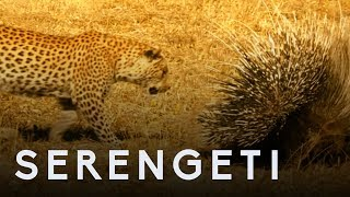 Leopard Vs Porcupine | Serengeti: Story Told by John Boyega | BBC Earth