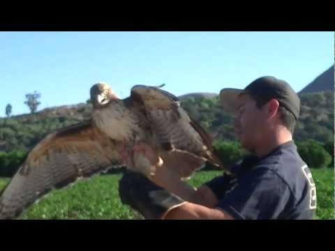 Elite Falconry Red Tailed Hawk Trapping Bal-Chatri Trap