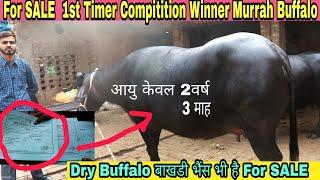 World's Top Murrah Buffalo Laddo Full Milking at CIRB Haryana
