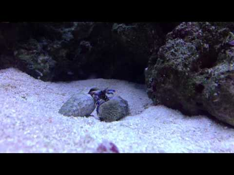 Micro Blue Hermit Crab Changing Shells