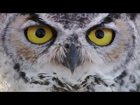 Owl Stuck In Barbed Wire Gets Help And Flies Away