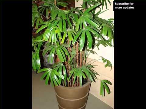 Indoor Lady Palm | Indoor House Or Office Plants Picture Collection