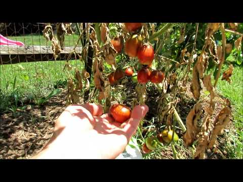Identifying and Treating Tomato Diseases: Blossom End Rot (BER), Early Blight, Leaf Spot