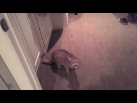 Friend's Cat Meows Aggressively, then Attacks