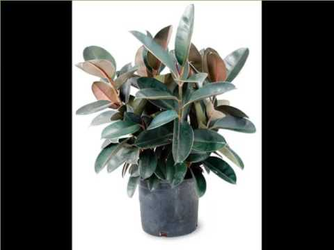Rubber Plant Indoor | Indoor House Or Office Plants Picture Collection