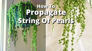 The Simple Way To Propagate A String Of Pearls Plant / Joy Us Garden