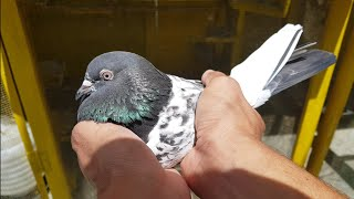 pigeon for sale in pakistan Videos - 9tube tv