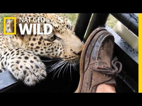 Wild Leopard Plays With a Tourist's Foot | Nat Geo Wild