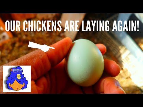 OUR CHICKENS ARE LAYING EGGS ON THE WINTER: BLUE EGGS : The Garden of Feodora