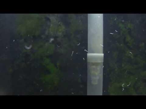 nematodes in the aquarium