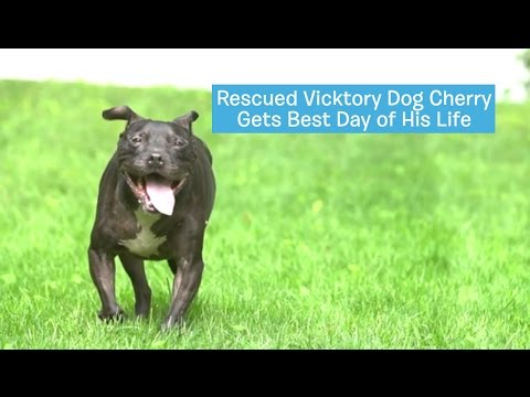 Cherry Was Rescued From a Dog-Fighting Ring And We Gave Him His Best Day Ever! | DOG'S BEST DAY