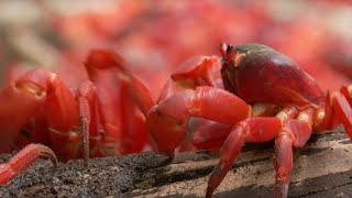 March of the Red Crabs | Lands of the Monsoon | BBC