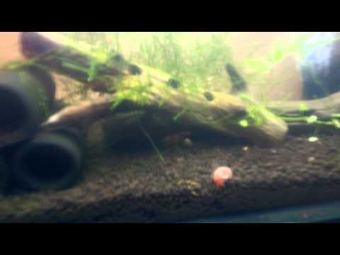 Crystal red shrimp breeding tip