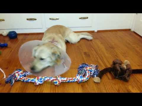 Dog Trying To Pull Off Elizabethan Collar After Cryptorchidism Neuter Surgery - Golden Retriever