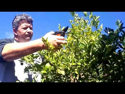 Harvesting the Calamansi Filipino lime grown in Australia