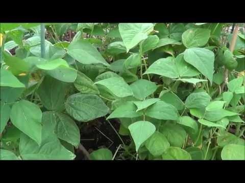 How to save green bean seeds. Bush beans, green beans, bean seeds.