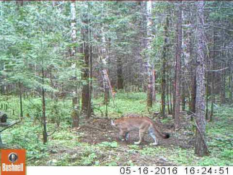 Mountain lion on my trail camera!