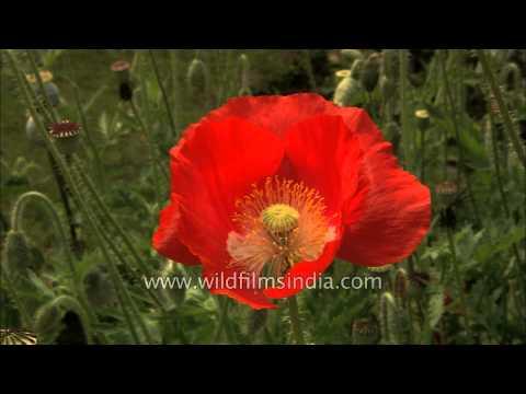 Red Poppy Papaver Flower