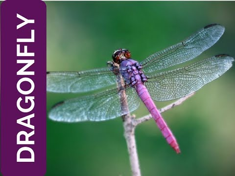 DRAGONFLY meaning: life is fleeting (Spirit Animal, Power Animal and Totem Series)