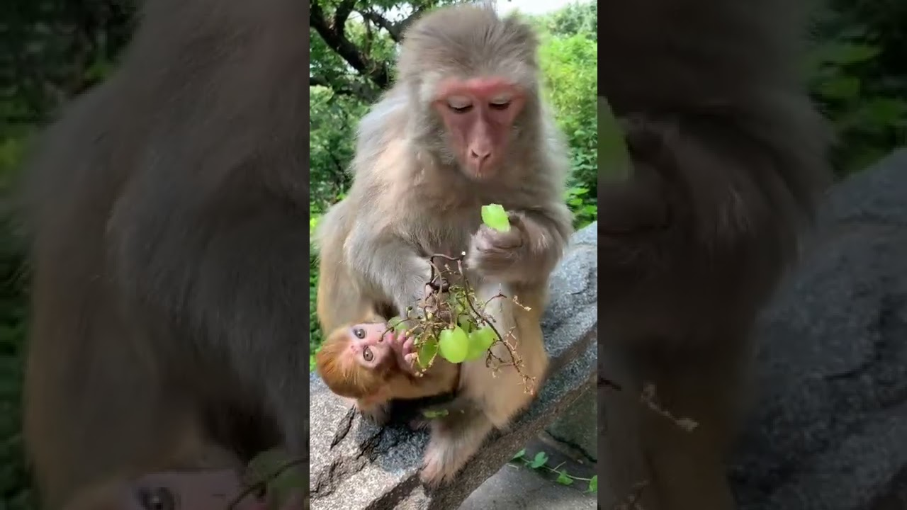 Feeding Monkey Videos, Grape #4