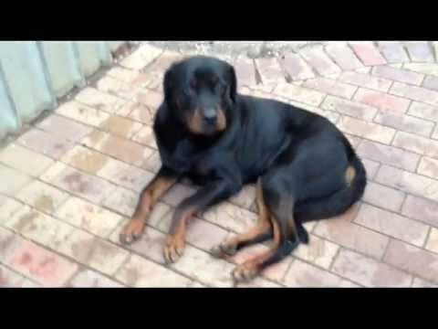 Rottweiler Dog Horrible Kennel Cough / Dog Flu Induced Vomiting