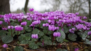 How to grow Cyclamen from seeds to flowering plant? | Germination period, care