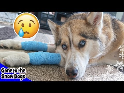 Shelby has TWO more Lumps | Shelby the Husky after Surgery at the vet