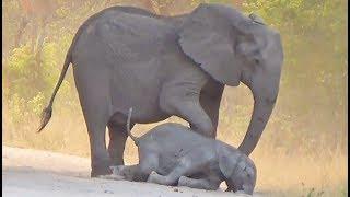 Elephants Try Help Dying Calf