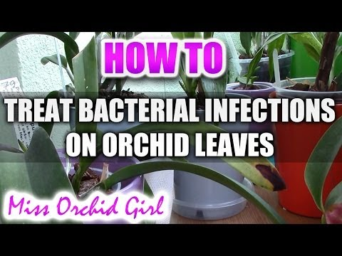 How to treat a bacterial infection on an Orchid leaf