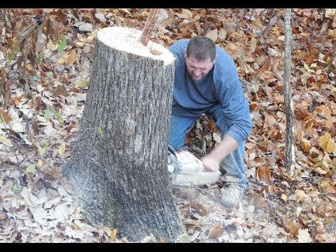 Cut Huge Tree by Professionals. Tree Services, Tree Removal Services.  Cutting Trees.