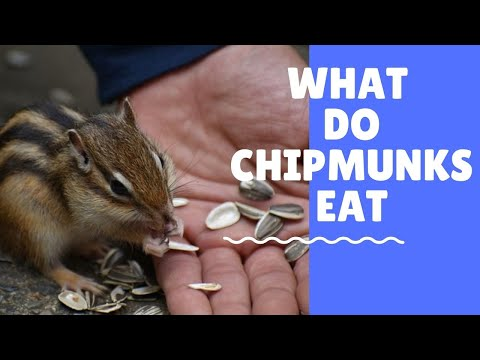 What do Chipmunks Eat - What to Feed Chipmunks (Read the Description)