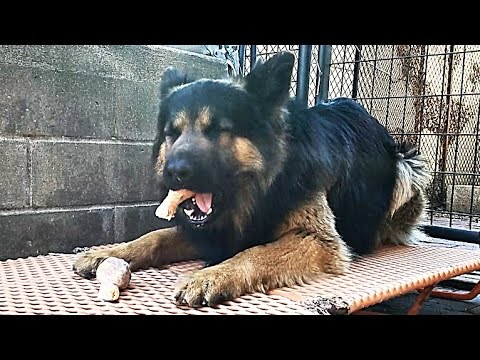 German Shepherd Swallows Chicken Bone!!!