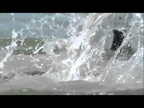 Bottlenose Dolphins Hunting Technique